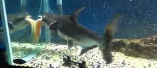 Paroon Sharks diet