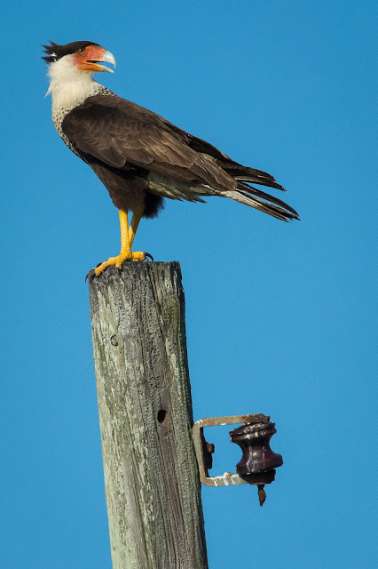 Crested Caracaras, East End Galveston
