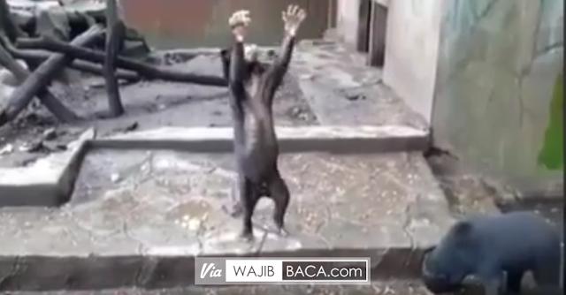 Miris! Di Kebun Binatang Bandung, Beruang Madu Kurus ini Memohon-mohon untuk Dilempari Makanan Oleh Pengunjung