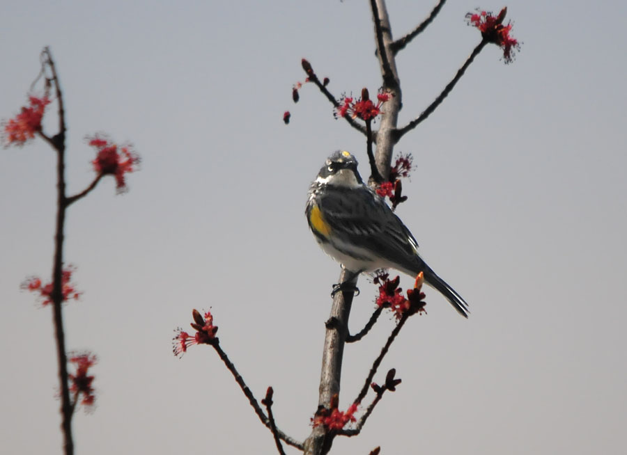 One Jackdaw Birding: Spring Migrant Fallout along the CT River