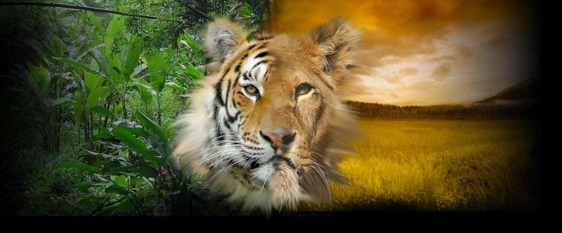 Tiger Picture Wallpaper Hd Tiger Wallpaper Pc Backgrounds Fresh