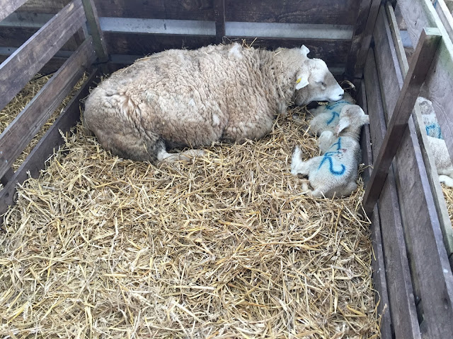 sheep and two baby lambs at Whitehouse Farm Morpeth