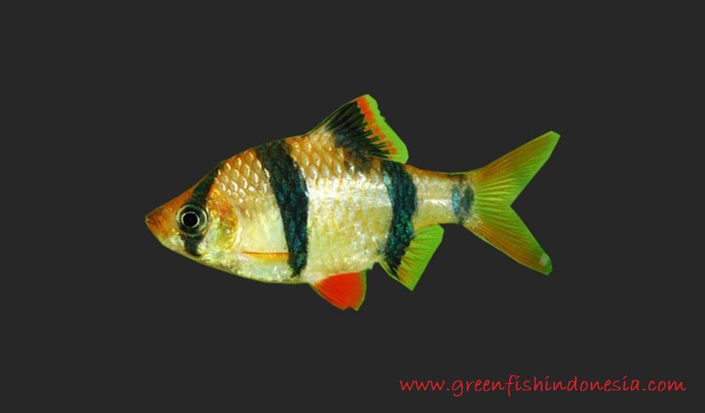 Sumatra Barb - Jenis Jenis Ikan Hias Air Tawar Aquascape Paling Lengkap