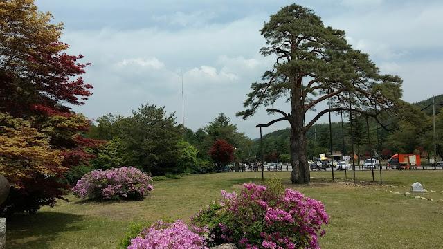 보은 속리 정이품송 boeun corée du sud korea jeongipum pine tree