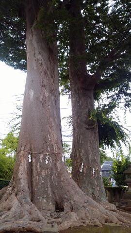 御神木  ケヤキの木