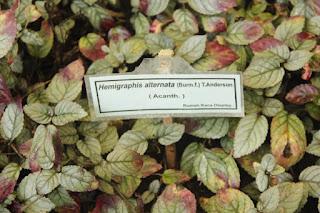 Foto atau gambar tanaman sambang getih (Hemigraphis Alternata)