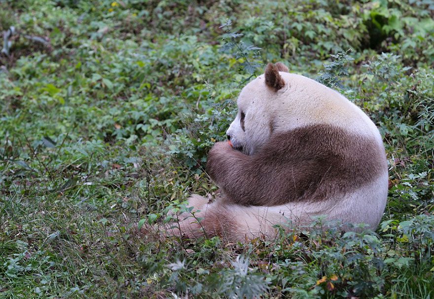 The World's Only Brown Panda Who Was Abandoned As A Baby, Finally Finds Happiness - Qizai, now at age 7, has turned into a fine specimen, and experts are planning to find him a mate