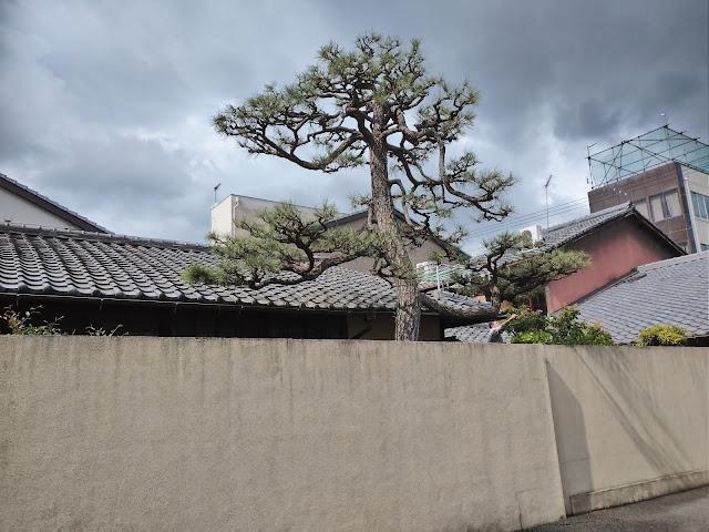 松1本 剪定(京都市上京区)