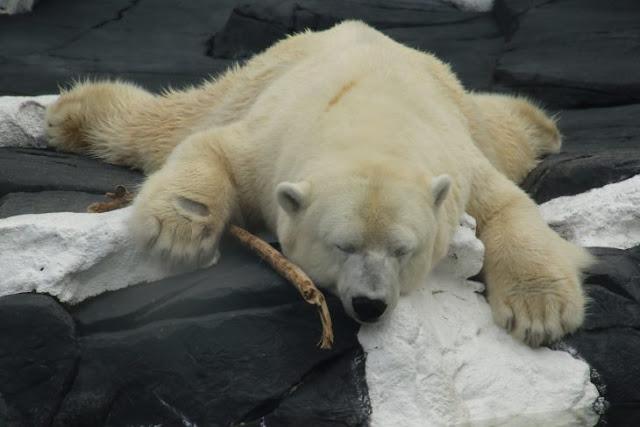 Oso polar murió de tristeza tras separarse de su mejor amiga