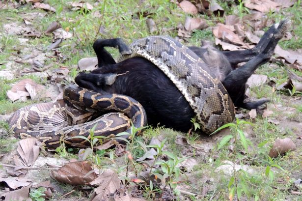 Live goat was swallowed by a 10ft python