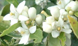 Plantas Mágicas: Flor de Azahar