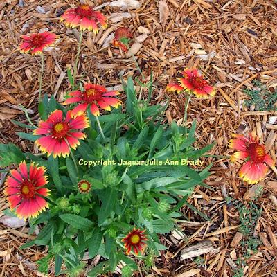 Gaillardia Pulchella Indian Blanket Flowers