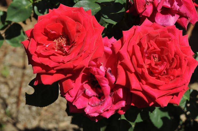 Roses coloring.filminspector.com