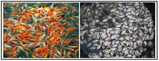 pemilihan benih unggul ikan