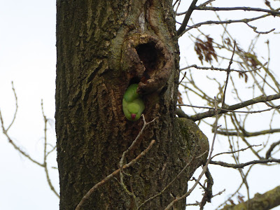 Ring-necked or Rose-ringed Parakeet (Psittacula krameri)