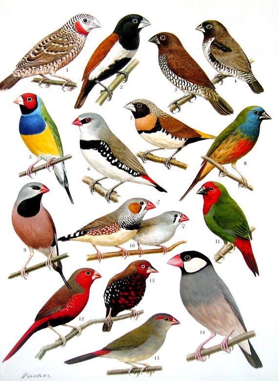 Espécies de Aves | Ornitologia