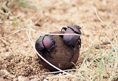 The first reaction may be disgust. But if you study on it, you'll see that the lowly dung beetle is designed to perform a valuable service.