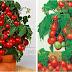 Как правильно выращивать помидоры на подоконнике...Вот это чудо !