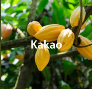 Teknis Budidaya Kakao / Cokelat