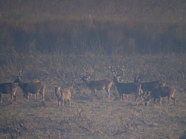 Swamp deer in Dudhwa National Park