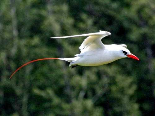 Indian bird - Red-tailed tropicbird - Phaethon rubricauda