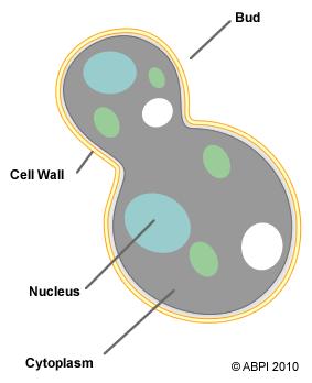 yeast cell budding - photo #4