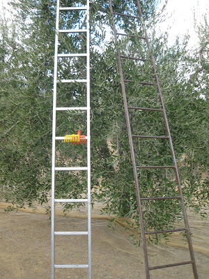 Ladders for olive picking