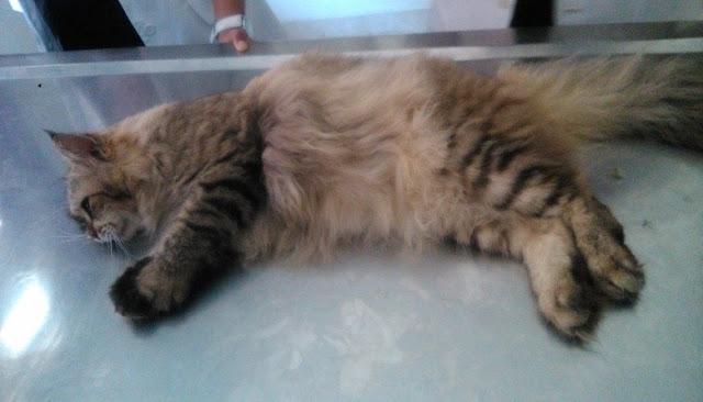 Urolithiasis Pada Kucing Persia Case Report Mydokterhewan