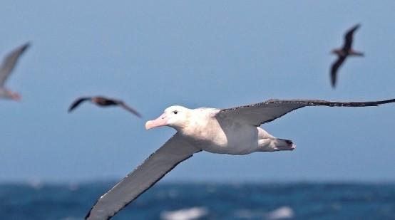 Burung laut migrasi melalui Pantai Muara Beting bekasi