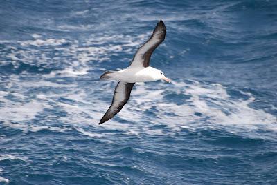 Albatroz, Aves Marinhas