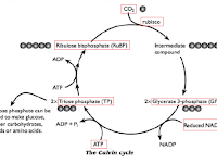 Calvin Cycle Diagram
