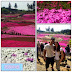 Sightseeing in Saitama: Pink Moss (芝桜) Viewing in Chichibu Hitsujiyama Park (秩父羊山公園)
