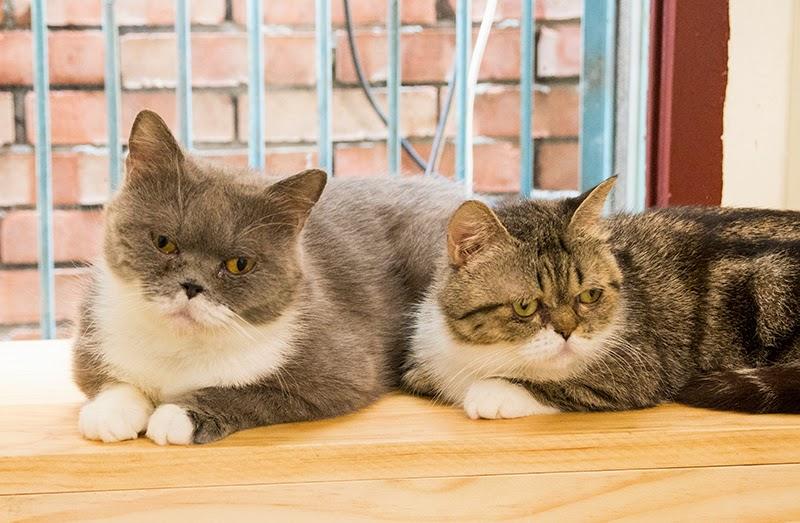 巷口躲貓貓 目前住宿的貓咪(待送養)小灰跟小斑