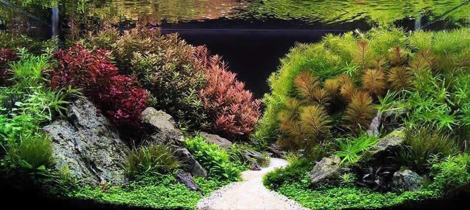 Một hồ thủy sinh phong cách hà lan đẹp có cây chồn đỏ