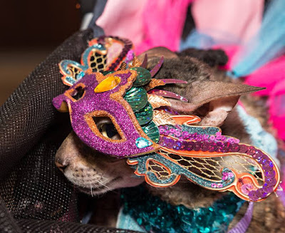Coco the Cornish Rex in her Mardi Gras Costume