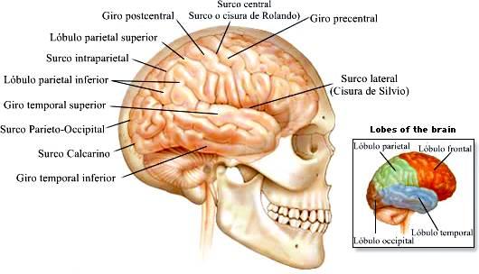 Anatomía del cerebro humano