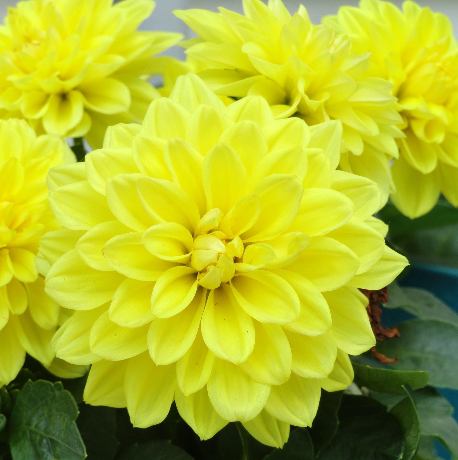 yellow dahlia flower -#main