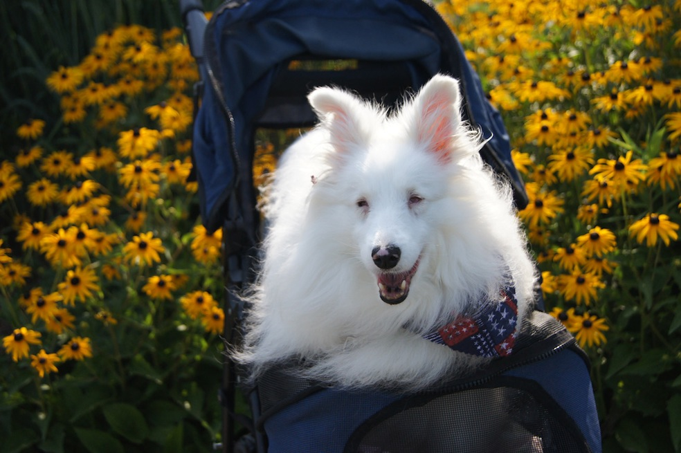 Treasure, the deaf and blind dog, helps other blind and deaf merles find homes and get adopted