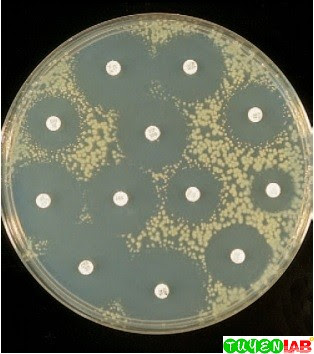 Escherichia coli tested by the disk diffusion method