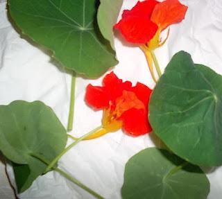 Heilpflanze und essbare Nutzpflanze