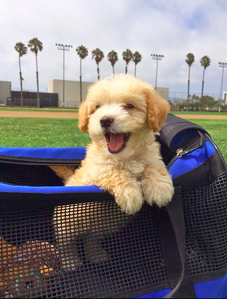Maltipoo Puppy Happy As Can Be