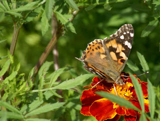 Photo of marigold and butterflies by BayMoon Design