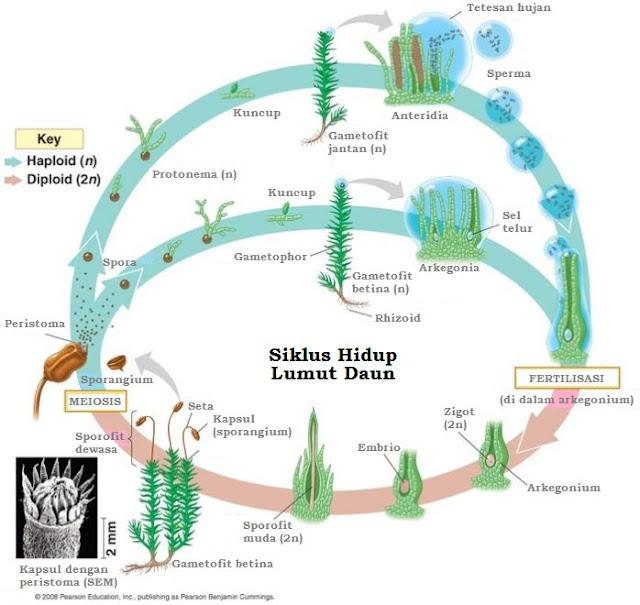 Siklu hidup lumut daun
