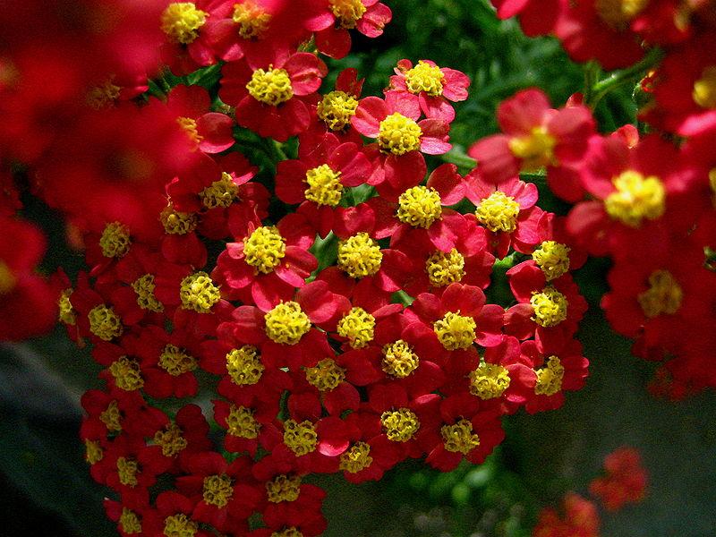 red yarrow flower white yarrow flower pink yarrow flower yarrow flower    Yarrow Flower
