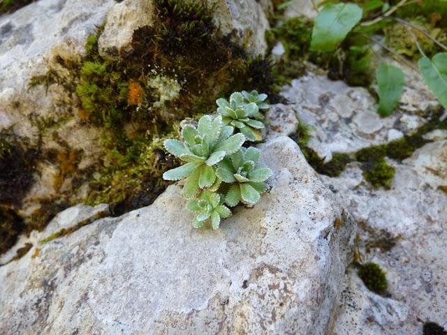 Floare de gheata, Saxifraga mutata ssp demissa, floare in Valea Horoabei, Bucegi