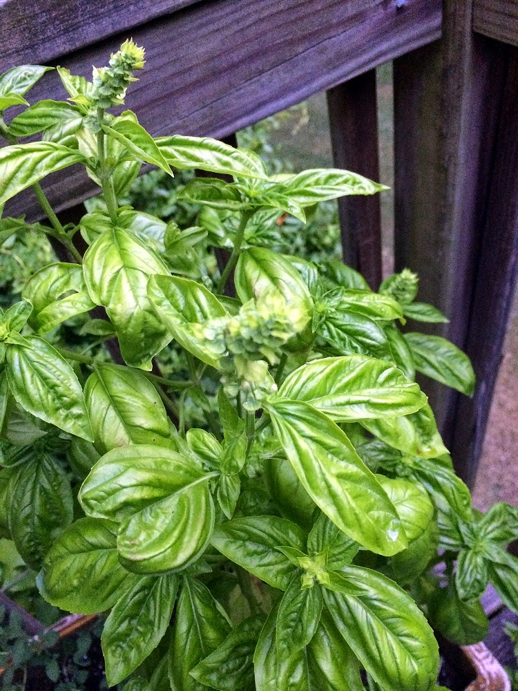 Basil with seed pods