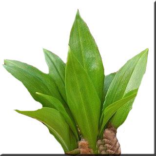 adasoğanı yabani sarımsak botanik yabani bahar yenilebilirlik