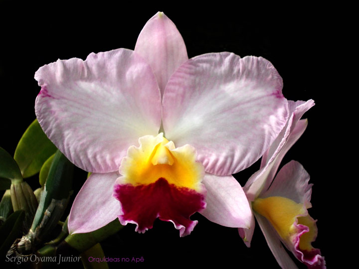 Mini-orquídea Sophrocattleya Mini Collins 'Pink Sherbet'