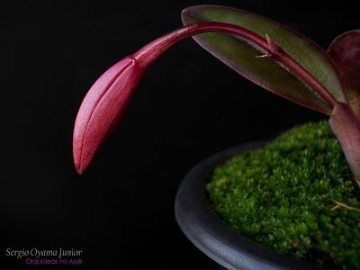 Mini-orquídea Sophrolaelia Jinn