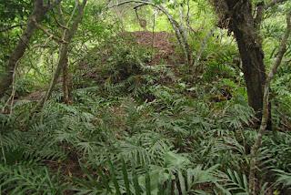 Ferny dry rain forest